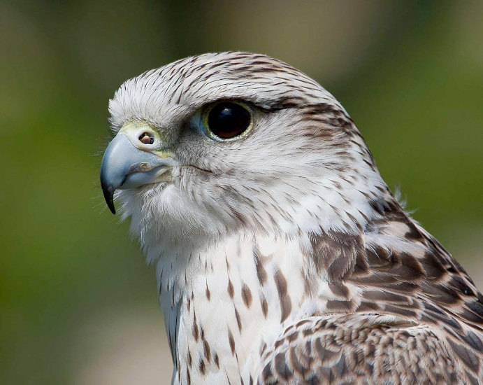 Devon Bird of Prey Centre Adopt a Bird of Prey