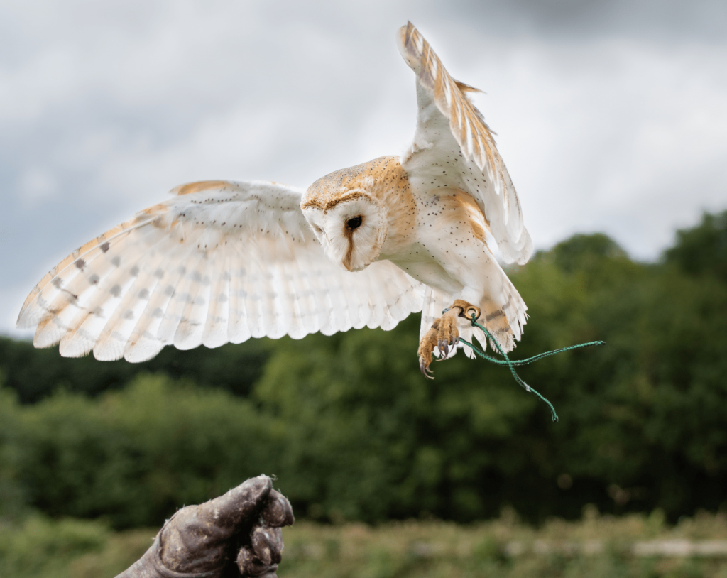 Adopt Breeze the Barn Owl from the Devon Bird of Prey Center