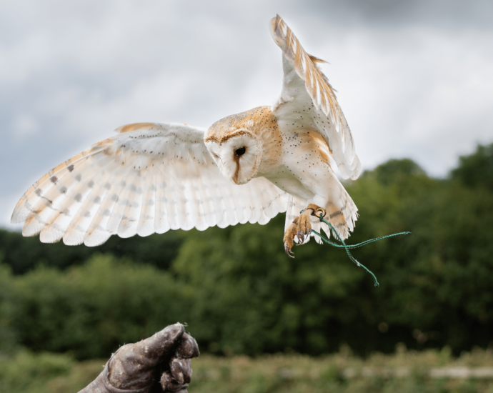 Adopt Breeze the Barn Owl from the Devon Bird of Prey Center