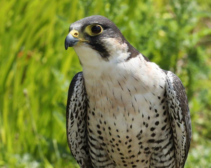 Adopt Enigma the Peregrine x Lanner Falcon at the Devon Bird of Prey Centre