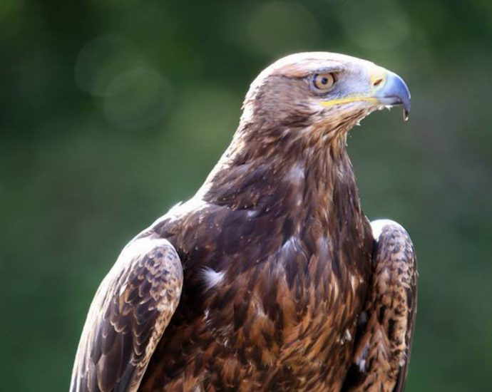 Adopt Galahad the Golden x Steppe Eagle at The Devon Bird of Prey Center