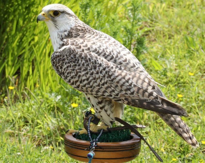 Adopt Jamal the Gyr x Saker Falcon at The Devon Bird of Prey centre