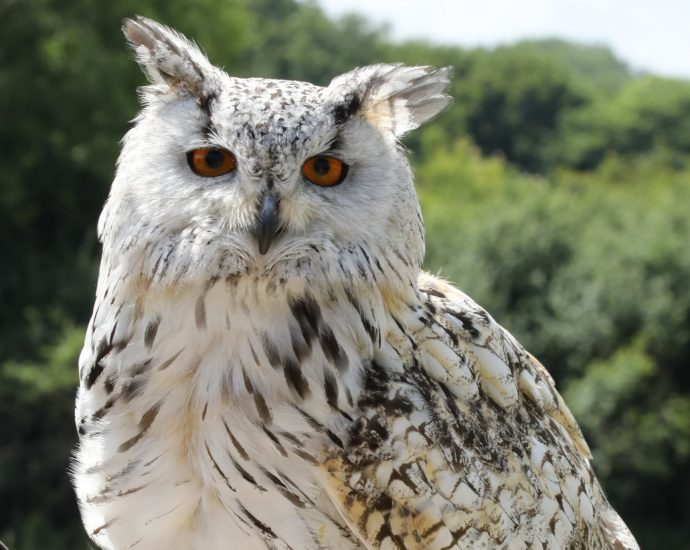 Adopt Magic the Western Siberian Eagle Owl at The Devon Bird of Prey Centre