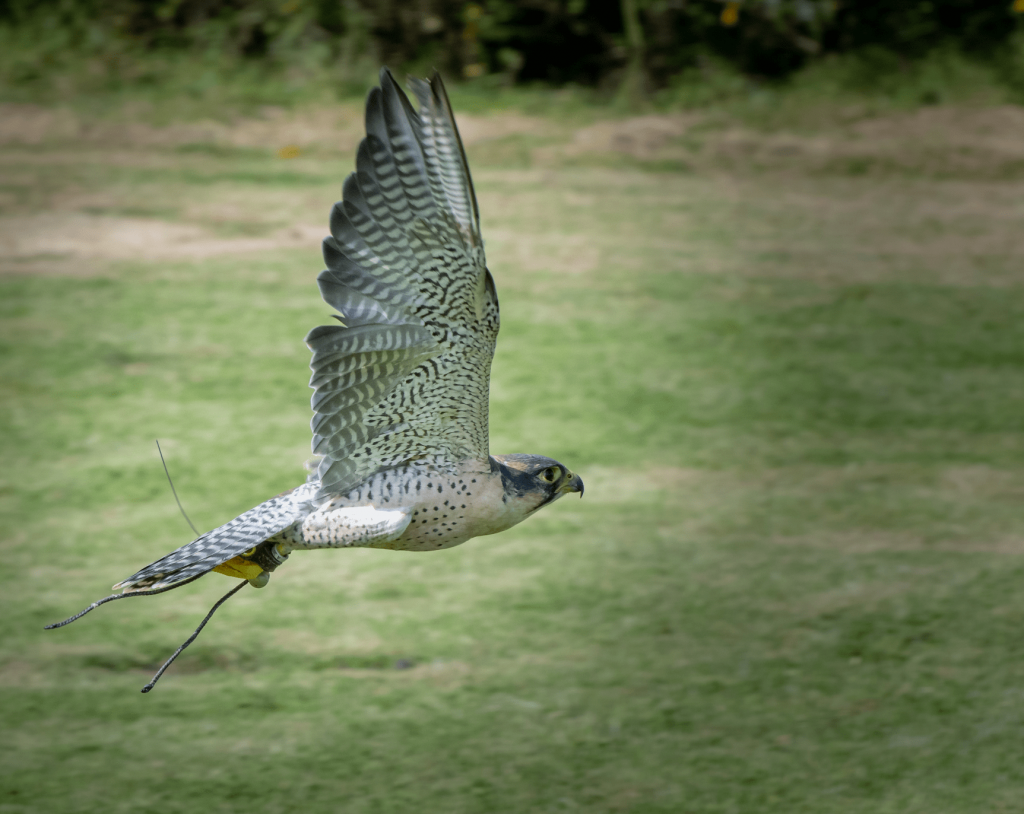 Adopt Pagan the Falcon from the Devon Bird of Prey Center