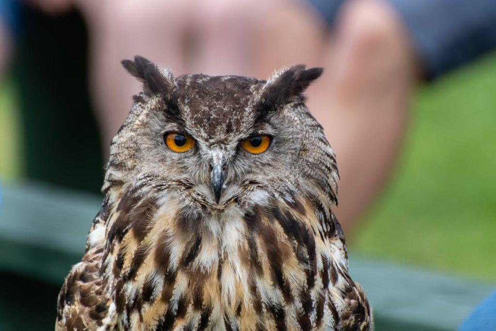 Adopt Amber the European Eagle Owl