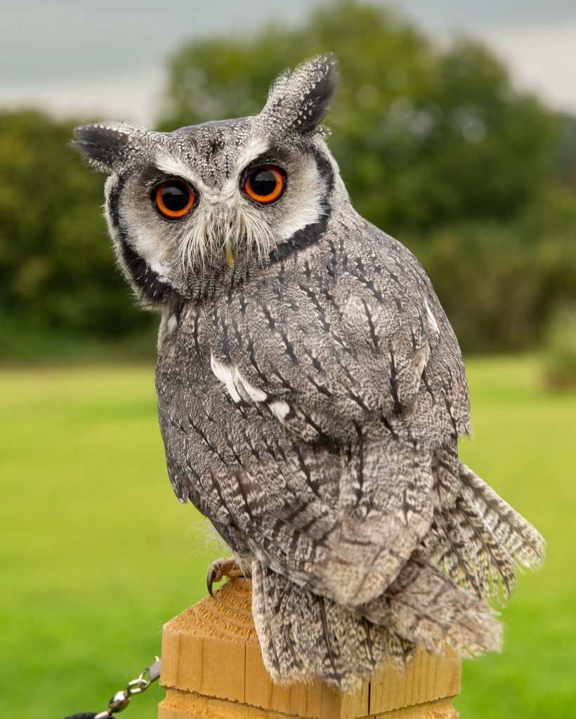 Adopt Cherub the White Faced Scops Owl