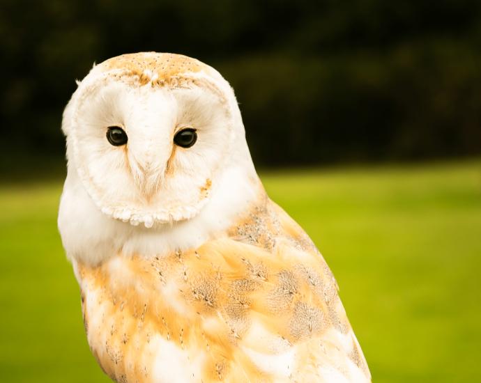 Devon Bird of Prey Center Adopt Oracle the Barn Owl