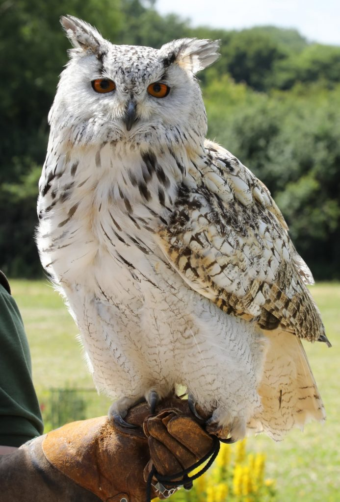 Adopt Magic the Western Siberian Eagle Owl