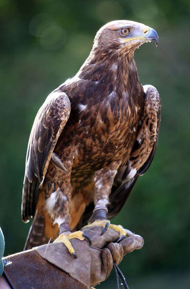 Adopt Galahad the Golden x Steppe Eagle